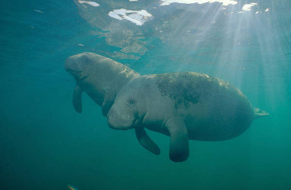West Indian Manatee Photograph - Manatee Mother And Calf by Andrew J. Martinez
