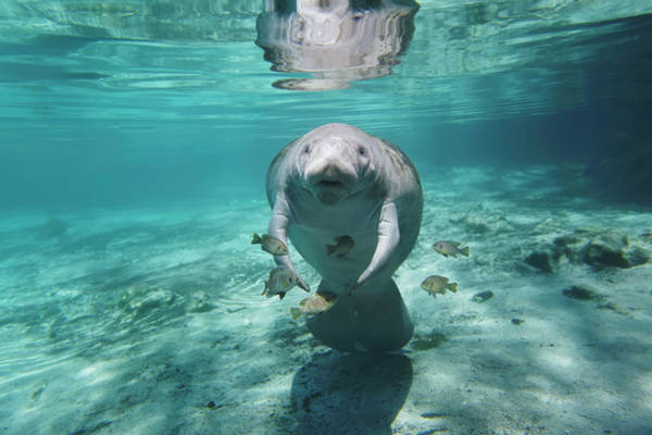 West Indian Manatee Photograph - Manatee by Paul E Tessier