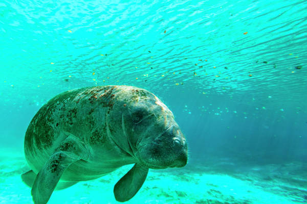 Manatee Photograph - Manatee Swimming In Clear Water by James White
