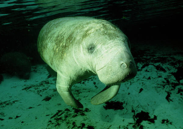 Sea Cow Photograph - Manatee Swimming by Rudiger Lehnen/science Photo Library