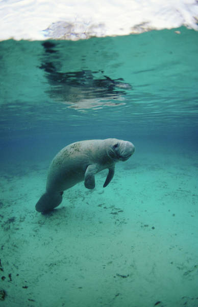 Underwater Photograph - Manatee Underwater by Michael Aw