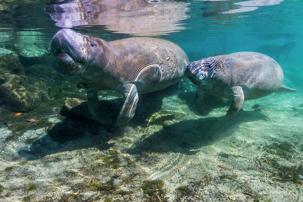 West Indian Manatee Photograph - Manatee With Calf In Crystal River by Jennifor Idol