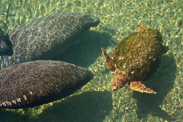 Photograph - Manatees And Loggerhead Turtle by Jean Clark