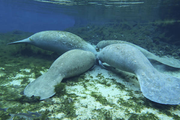 West Indian Manatee Photograph - Manatees Congregate To Feed On Algae by Michael Wood