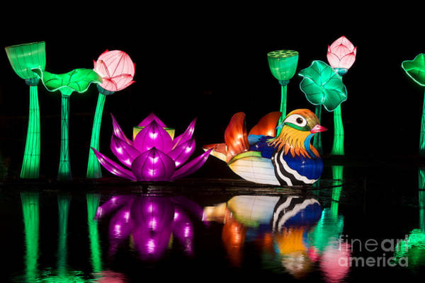 Mandarin Duck Photograph - Mandarin Duck Chinese Lantern by Tim Gainey