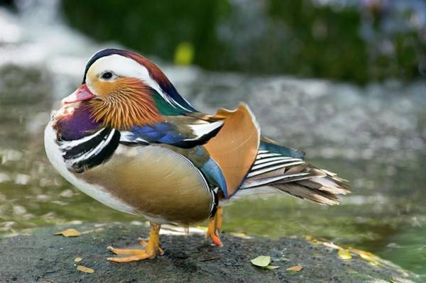 Mandarin Duck Photograph - Mandarin Duck by Tony Camacho/science Photo Library