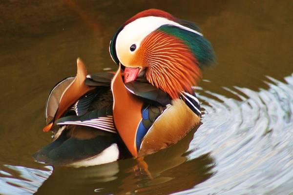 Water Birds Wall Art - Photograph - Mandarin Duck by Valia Bradshaw