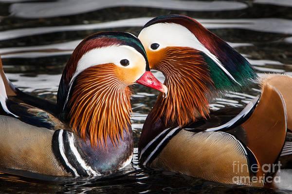 Mandarin Lovers Art Print