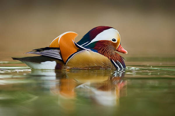 Mandarin Duck Photograph - Mandarin by Yuri Peress