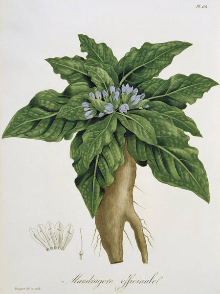 Plant Reproduction Painting - Mandragora Officinarum by LFJ Hoquart
