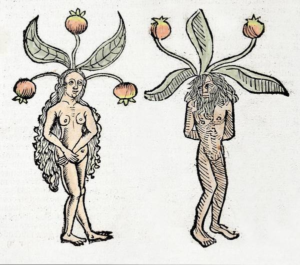 Woodcut Photograph - Mandrakes by Paul D Stewart
