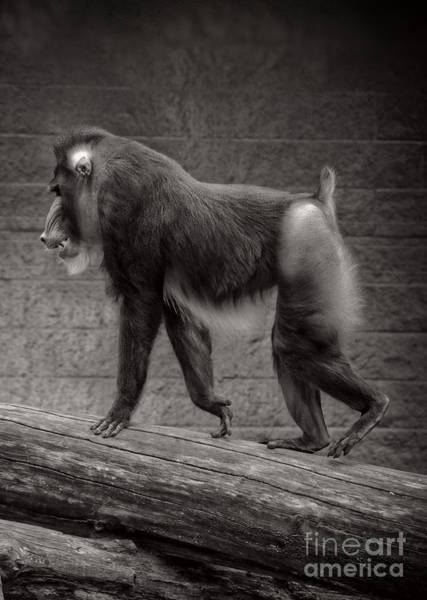 Wall Art - Photograph - Mandrill by HD Connelly