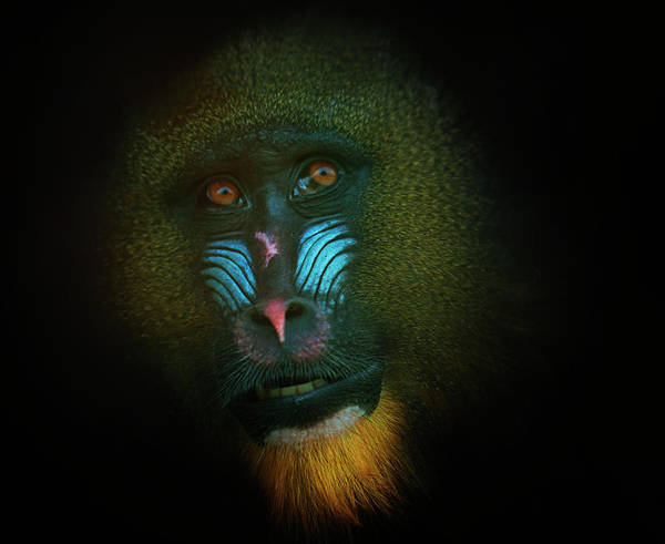 Black Background Photograph - Mandrill by Samantha Nicol Art Photography