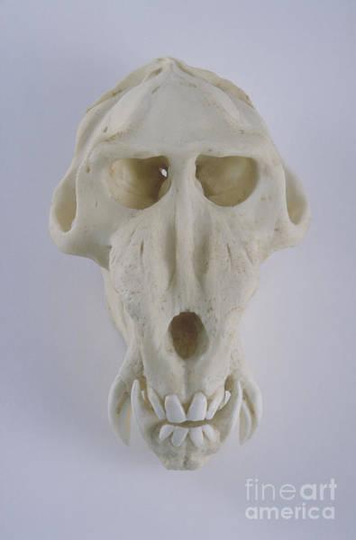 Photograph - Mandrill Skull by Barbara Strnadova