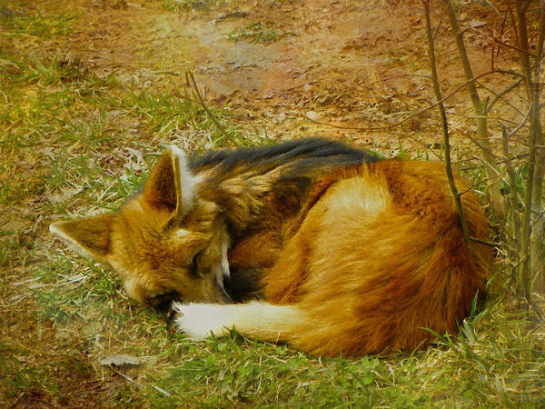 Red Wolf Photograph - Maned Wolf by Sandi OReilly