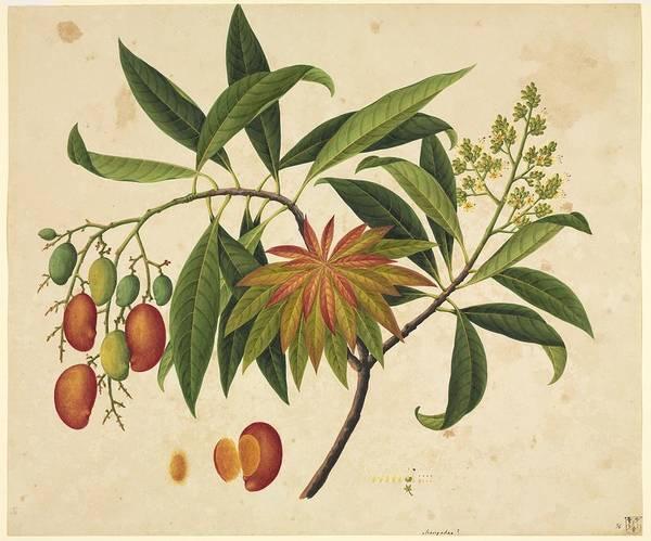 Mangos Photograph - Mangifera Indica, 19th-century Artwork by Science Photo Library