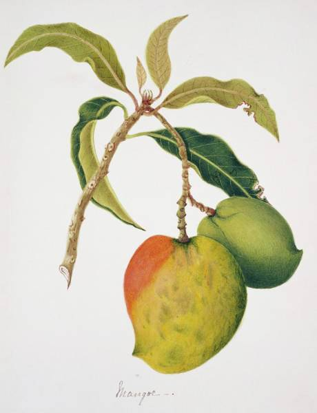 Mangos Photograph - Mango Fruits by Natural History Museum, London/science Photo Library