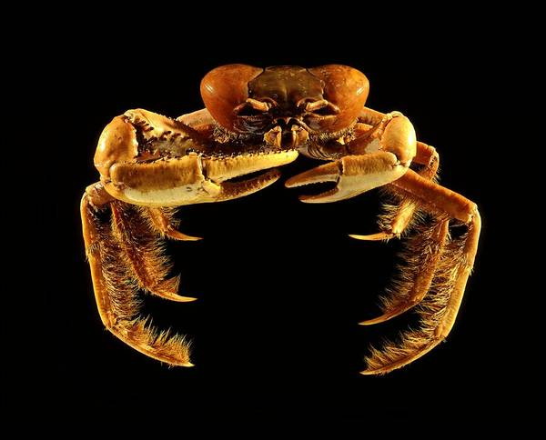 Chela Wall Art - Photograph - Mangrove Crab by Science Photo Library