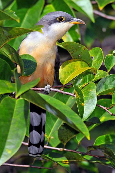Wall Art - Photograph - Mangrove Cuckoo by Alan Lenk