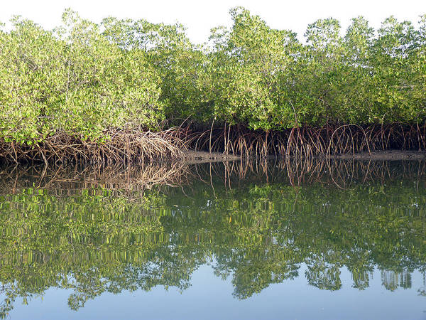 Photograph - Mangrove Refelections by Tony Murtagh
