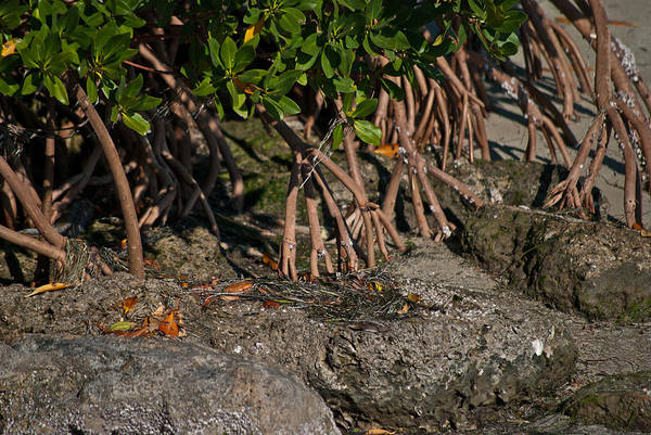 Photograph - Mangrove Roots Pla 637 by G L Sarti