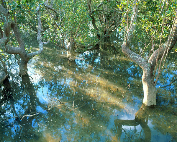 Wall Art - Photograph - Mangrove Swamp During A High Tide by Simon Fraser/science Photo Library