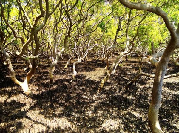 Wall Art - Photograph - Mangrove Swamp by Peter Mooyman