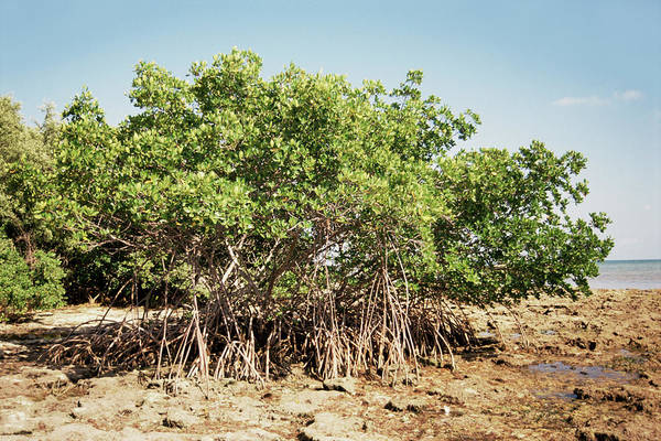 Coastal Marshes Photograph - Mangrove Trees (rhizophora Sp.) by Jim Edds/science Photo Library