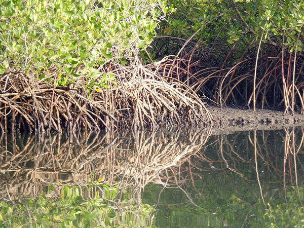 Photograph - Mangroves In The Gambia by Tony Murtagh