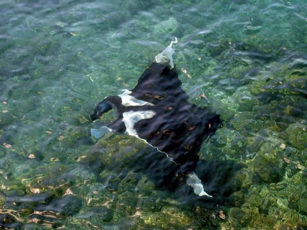 Manta Rays Photograph - Manta Ray (manta Birostris by Miva Stock
