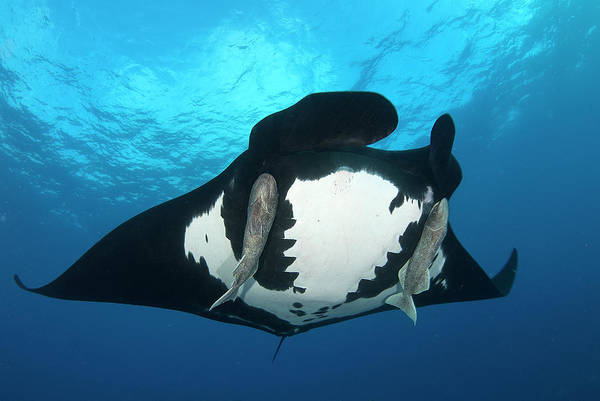 Clarion Photograph - Manta Ray Revillagigedo by Luis Javier Sandoval