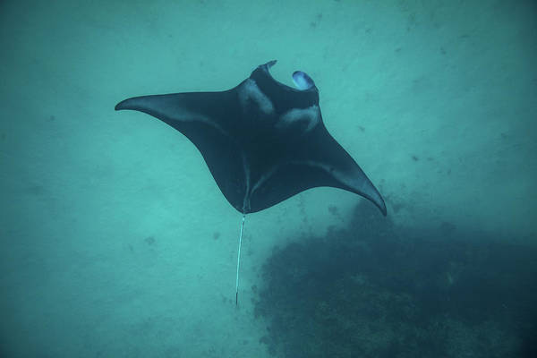 Manta Rays Photograph - Manta Ray Swimming In The Pacific by Panoramic Images