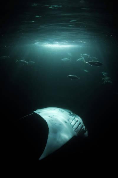 Manta Rays Photograph - Manta Ray Swims Under Light At Night by Sirachai Arunrugstichai