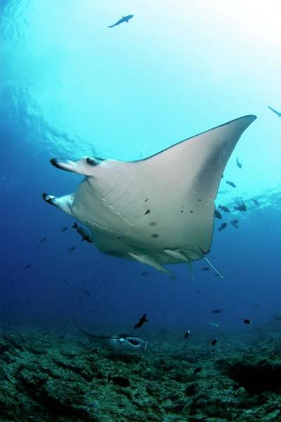 Manta Rays Photograph - Manta Rays Swimming Over Reef by Scubazoo/science Photo Library