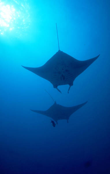 Wall Art - Photograph - Mantas Manta Birostris by F. Stuart Westmorland