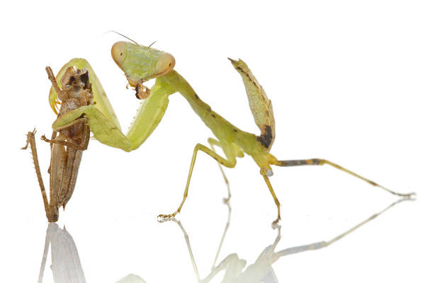 Photograph - Mantid Eating Grasshopper Gorongosa by Piotr Naskrecki