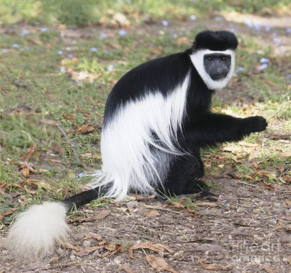Wall Art - Photograph - Mantled Guereza by Brian Gadsby