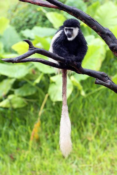 Zoological Photograph - Mantled Guereza Monkey by Pan Xunbin