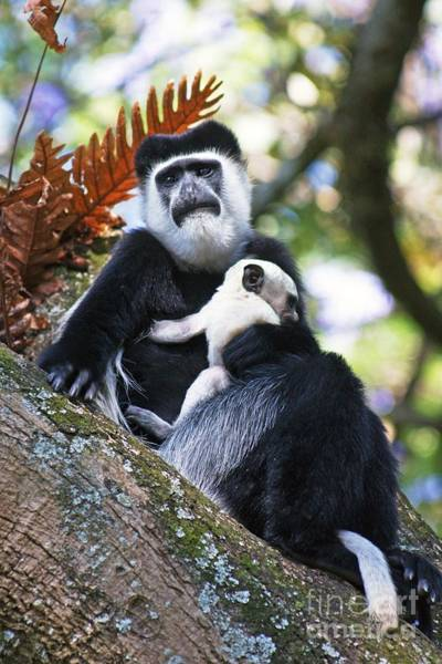 Mantled Guereza Mother And Baby Art Print by Brian Gadsby