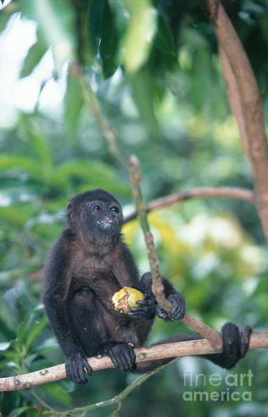 Wall Art - Photograph - Mantled Howler Monkey by Tom Brakefield