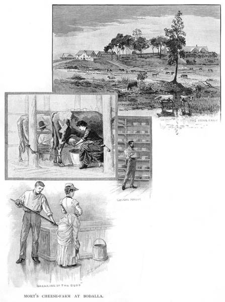 Cheese Drawing - Manufacturing Cheese In  Australia - by Mary Evans Picture Library