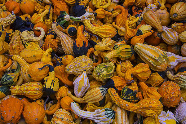 Gourd Photograph - Many Colorful Gourds by Garry Gay