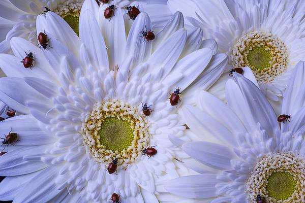 Lady Bug Wall Art - Photograph - Many Ladybugs On White Daisy by Garry Gay