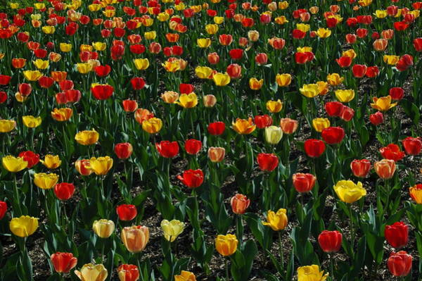 Photograph - Many Tulips by Raymond Salani III