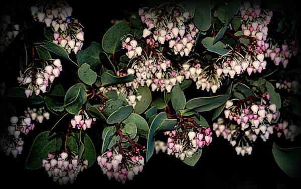 Photograph - Manzanita Blooms by AJ  Schibig