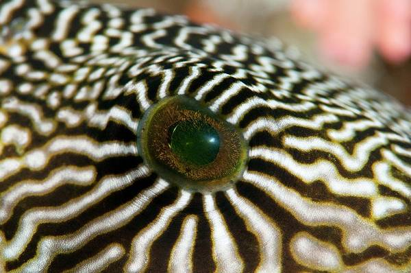 Wall Art - Photograph - Map Pufferfish Eye by Scubazoo/science Photo Library