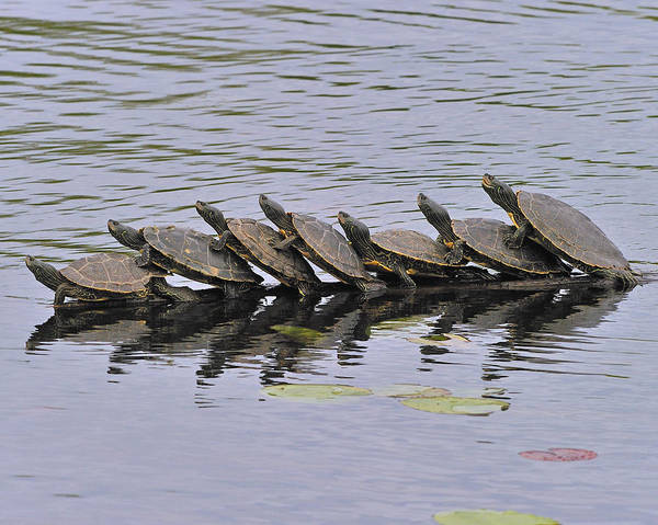 Photograph - Map Turtles by Tony Beck