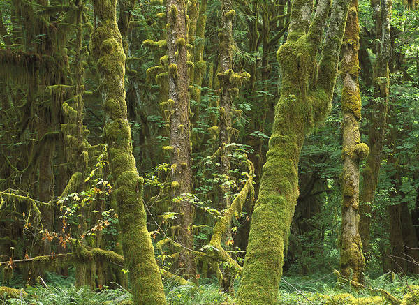 Photograph - Maple Glade Quinault Rainforest by Tim Fitzharris