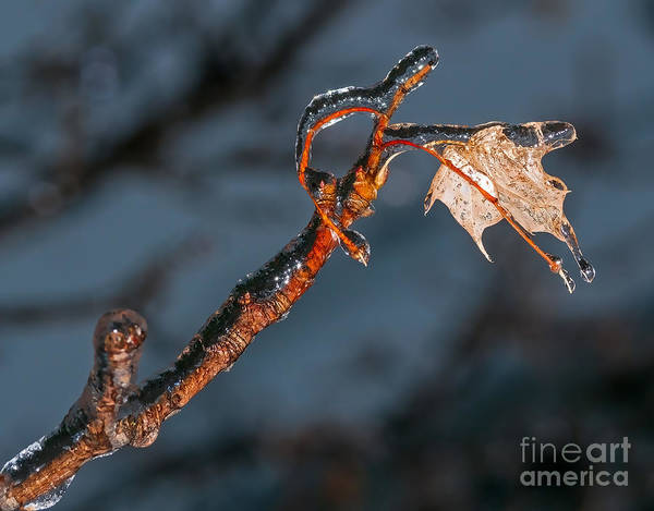 Photograph - Maple Leaf And Branch Encased In Ice by Les Palenik