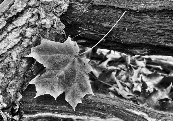 Photograph - Maple Leaf And Logs by Steven Ralser